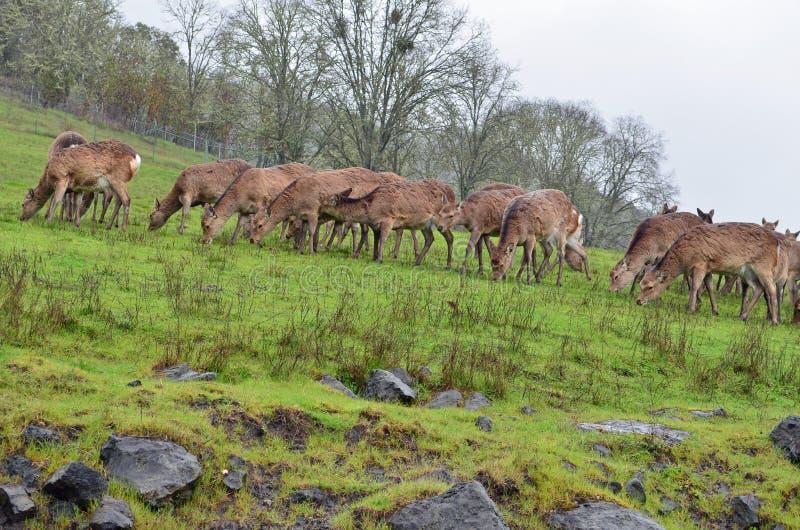 Herd of Deer grazing