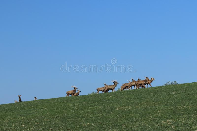 A herd of deer grazing in the spring on a green meadow. Wild animals in captivity. Conservation of Nature and Reduction of the Pop. Ulation of Rare Animals stock image