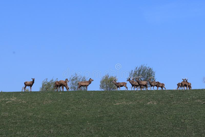 A herd of deer grazing in the spring on a green meadow. Wild animals in captivity. Conservation of Nature and Reduction of the Pop. Ulation of Rare Animals stock photos