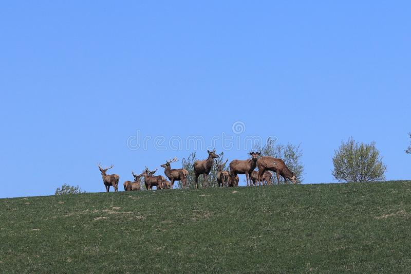 A herd of deer grazing in the spring on a green meadow. Wild animals in captivity. Conservation of Nature and Reduction of the Pop. Ulation of Rare Animals royalty free stock photos