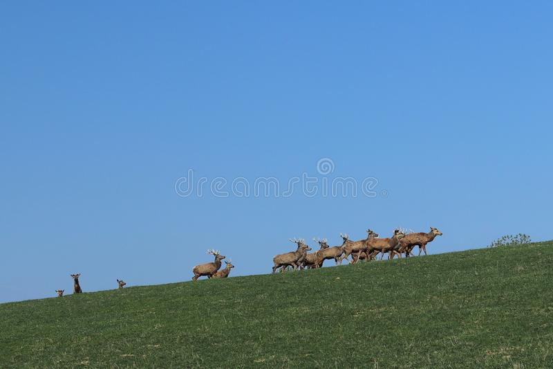 A herd of deer grazing in the spring on a green meadow. Wild animals in captivity. Conservation of Nature and Reduction of the Pop. Ulation of Rare Animals royalty free stock photo