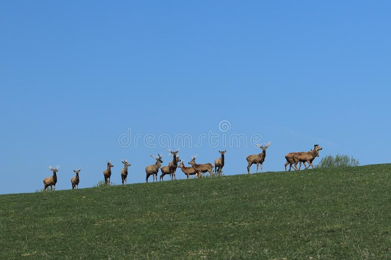 A herd of deer grazing in the spring on a green meadow. Wild animals in captivity. Conservation of Nature and Reduction of the Pop. Ulation of Rare Animals royalty free stock photography