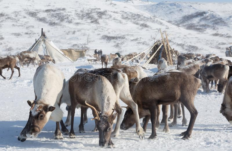 Herd of deer near a Nenets chums on a winter day. Yamal, Russia royalty free stock photo