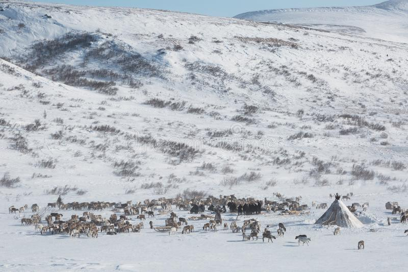 A herd of deer near a Nenets chums on a winter day. Yamal, Russia. Top view stock images