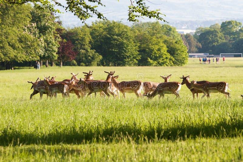 Herd of deer in park stock photos