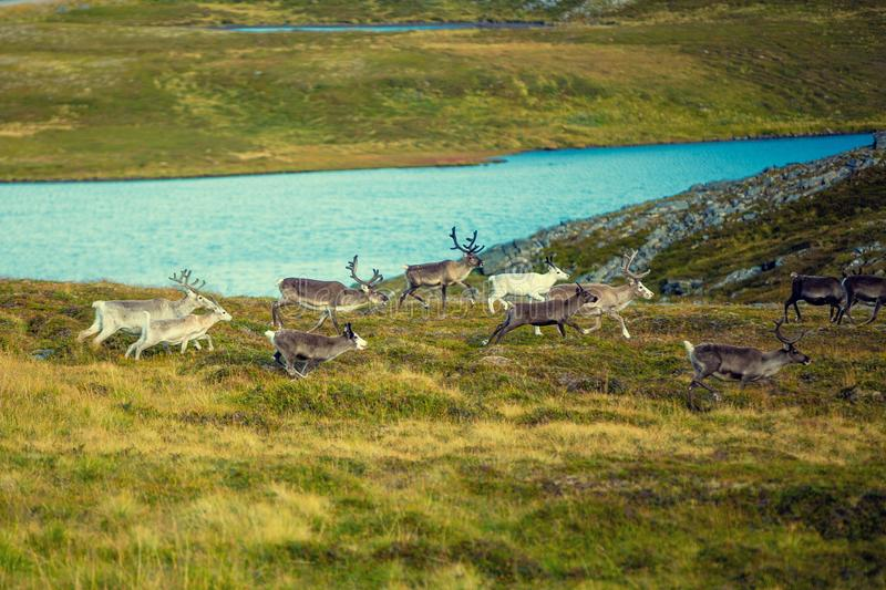 A herd of deer runs along the tundra royalty free stock photography