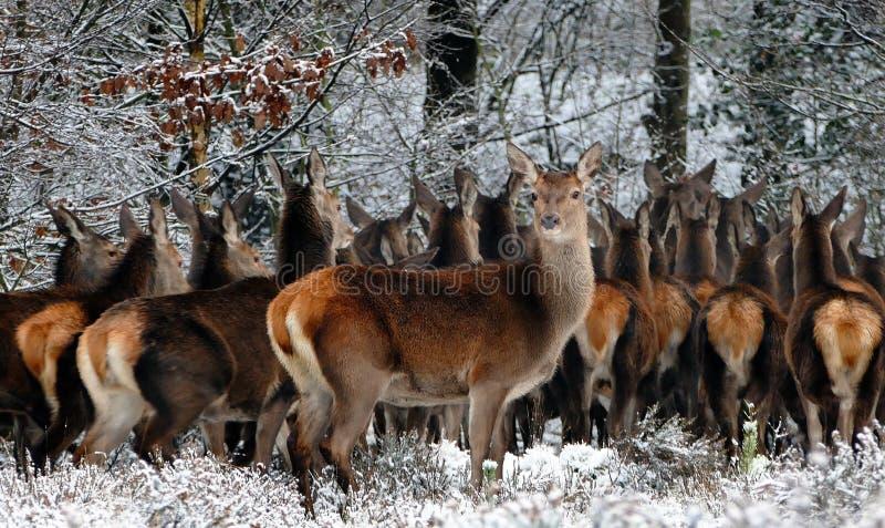 Herd of deer sheltering stock image