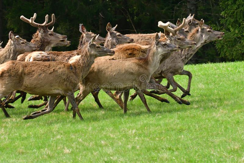 Herd of deer stag with growing antler grazing the grass close-up royalty free stock photography