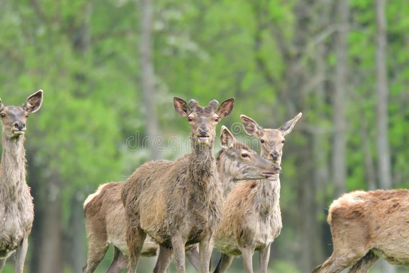 Herd of deer stag with growing antler grazing the grass close-up stock photos