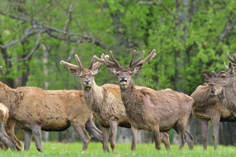 Herd of deer stag with growing antler grazing the grass close-up royalty free stock image