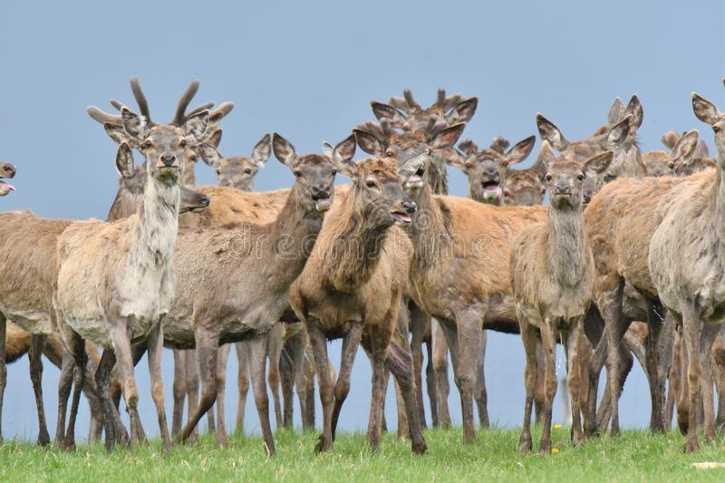 Herd of deer stag with growing antler grazing the grass close-up stock photo