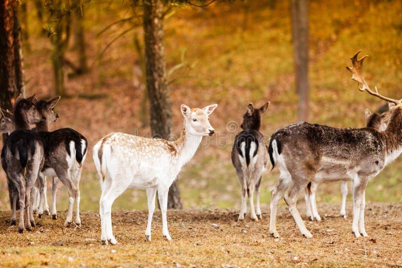 Herd of deer in the wild. Deer flock in natural habitat royalty free stock image