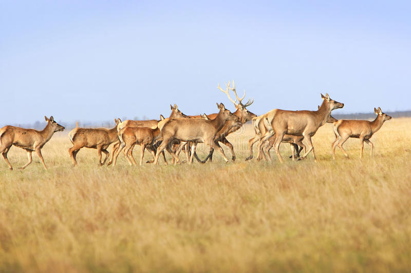Download Herd deers stock image. Image of silence, stag, group - 11863935