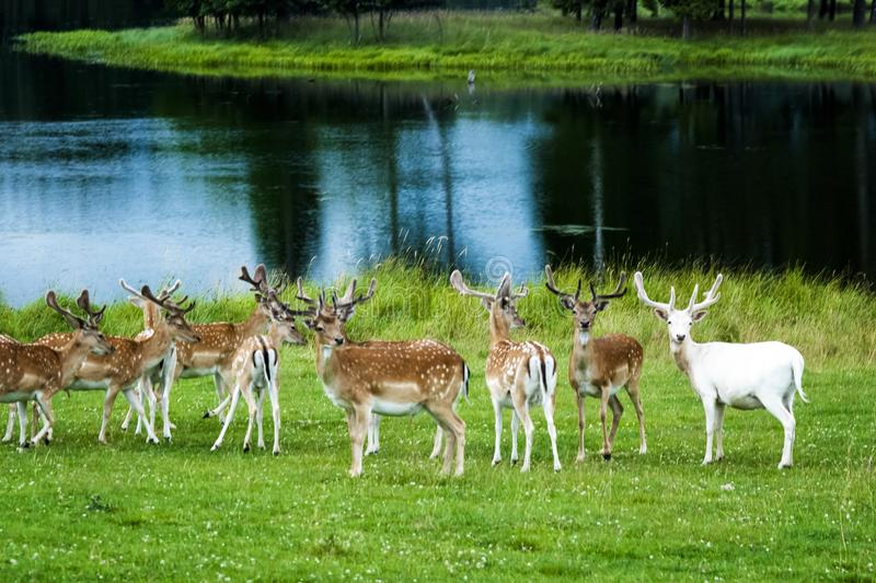 Herd of Deers on Field royalty free stock photography