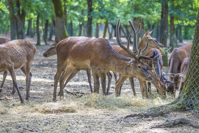 Herd of deers in the forest stock photos
