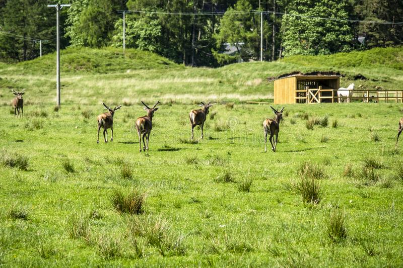 Herd of deers in the scottish highlands stock photography