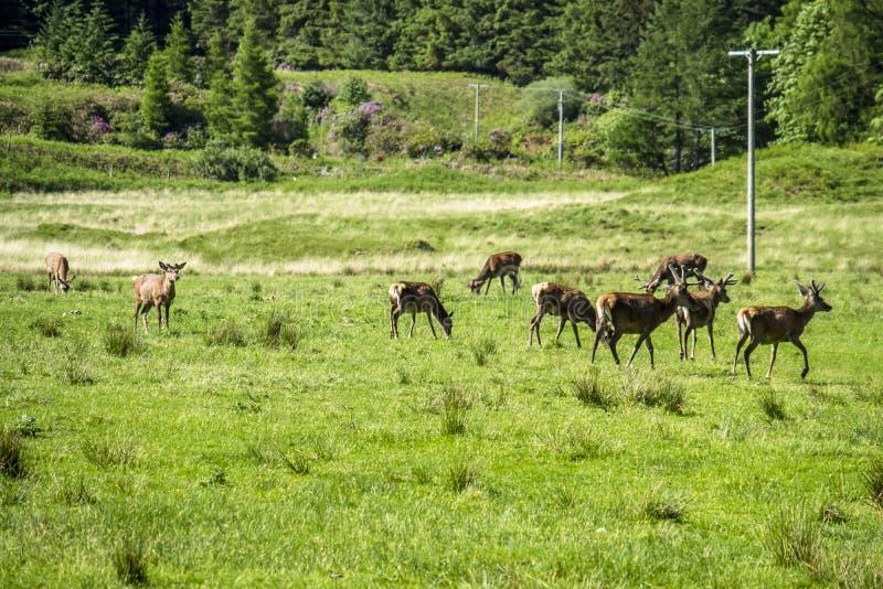 Herd of deers in the scottish highlands stock photo