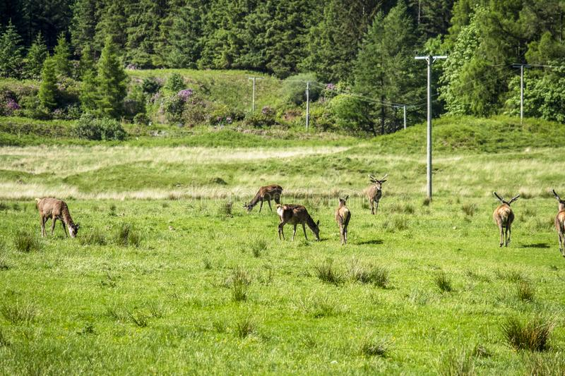 Herd of deers in the scottish highlands royalty free stock photography