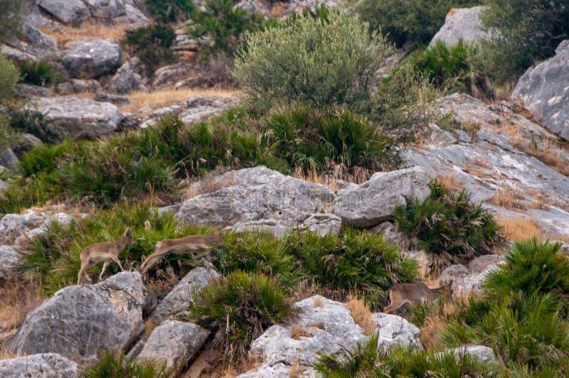 Herd of deers. Wild animals stock images