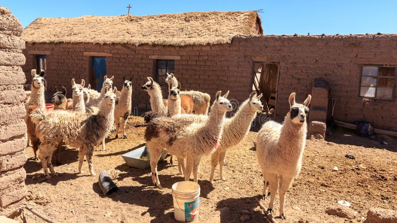 Herd of domestic lamas standing near a house royalty free stock image
