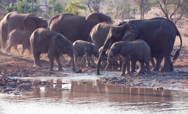 Download Herd Of Elephant Drinking Water Stock Photo - Image: 18398420