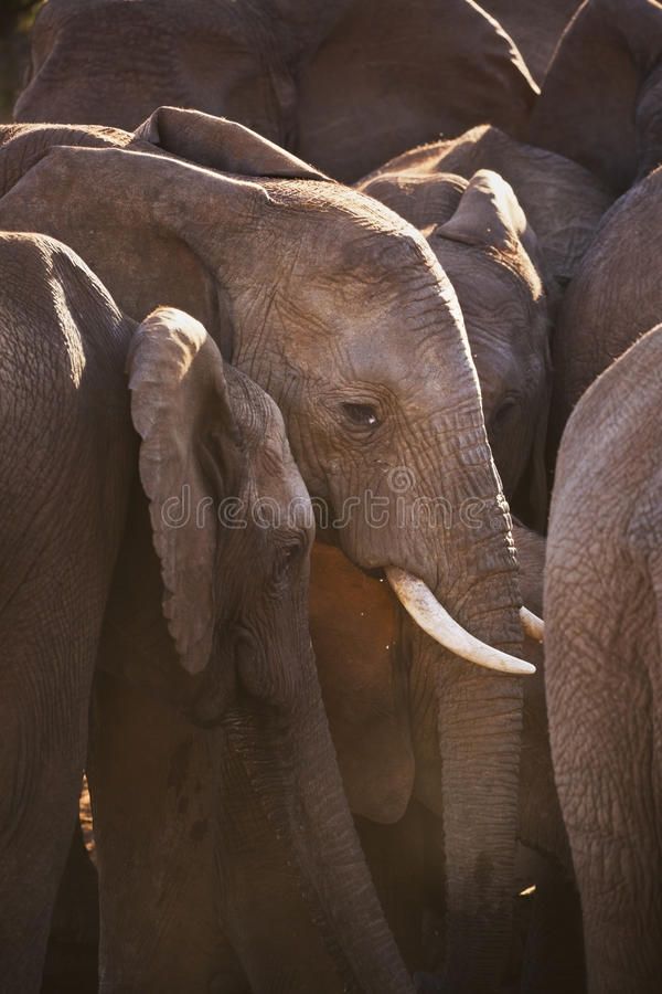 Herd of elephants in Addo Elephant NP, South Africa. A herd of elephants in Addo Elephant National Park, South Africa. Photographed in late afternoon sunlight stock image