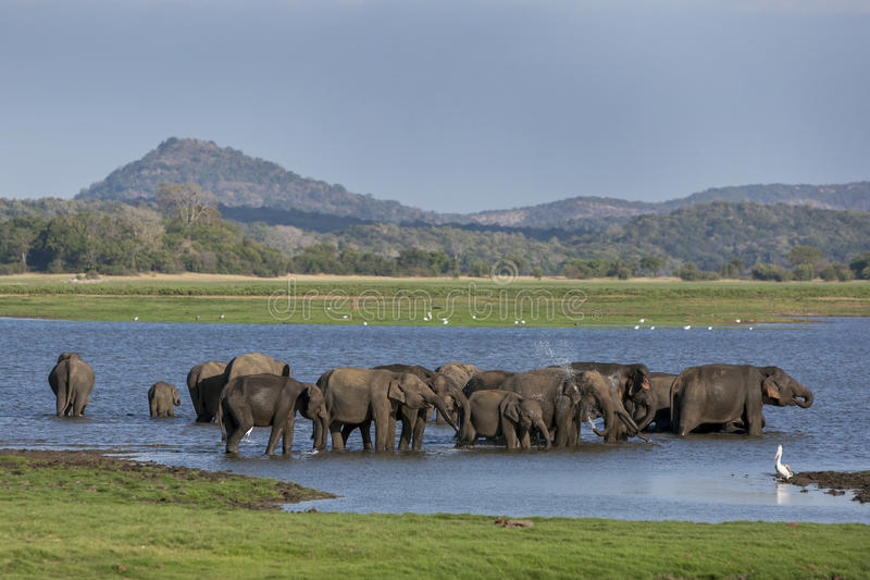 A herd of elephants bathing in the tank (man-made reservoir) at Minneriya National Park in the late afternoon. royalty free stock images