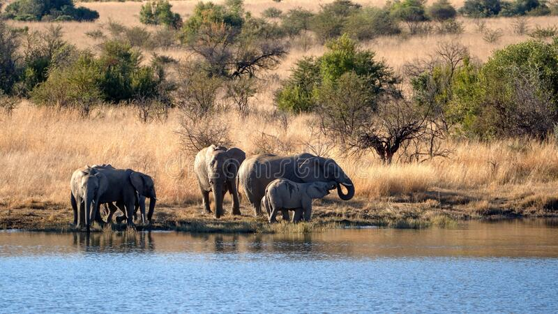 Herd of elephants with calves at a dam. Herd of elephants with calves in tall, dry grass, drinking from a dam in Pilanesberg National Park, South Africa royalty free stock photo