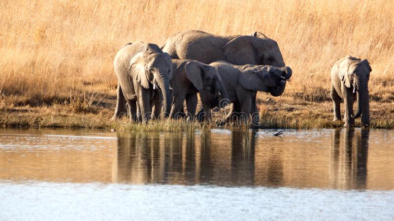 Herd of elephants with calves at a dam. Herd of elephants with calves in tall, dry grass, drinking from a dam in Pilanesberg National Park, South Africa royalty free stock photography