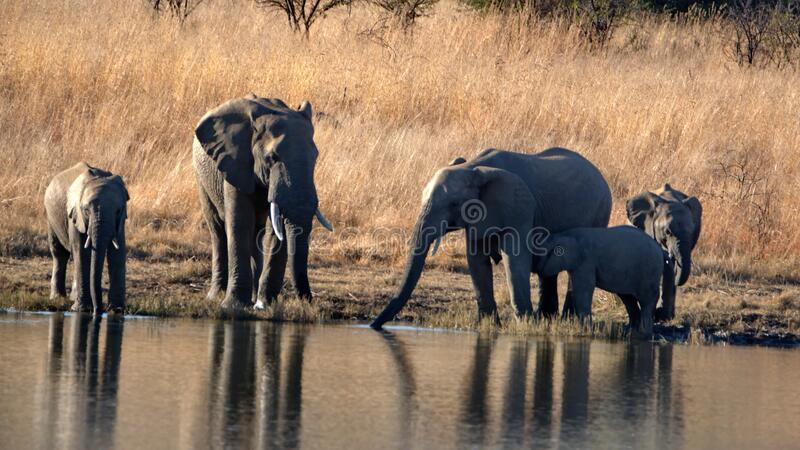 Herd of elephants with calves at a dam. Herd of elephants with calves in tall, dry grass, drinking from a dam in Pilanesberg National Park, South Africa stock photography