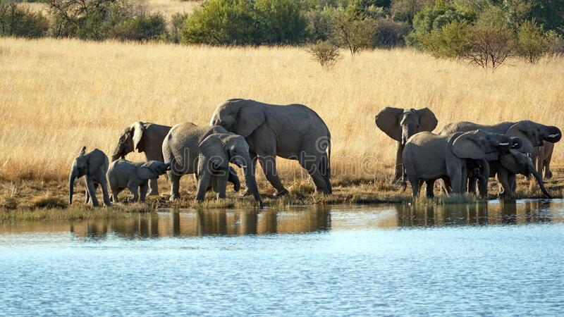 Herd of elephants with calves at a dam. Herd of elephants with calves in tall, dry grass, drinking from a dam in Pilanesberg National Park, South Africa stock photos