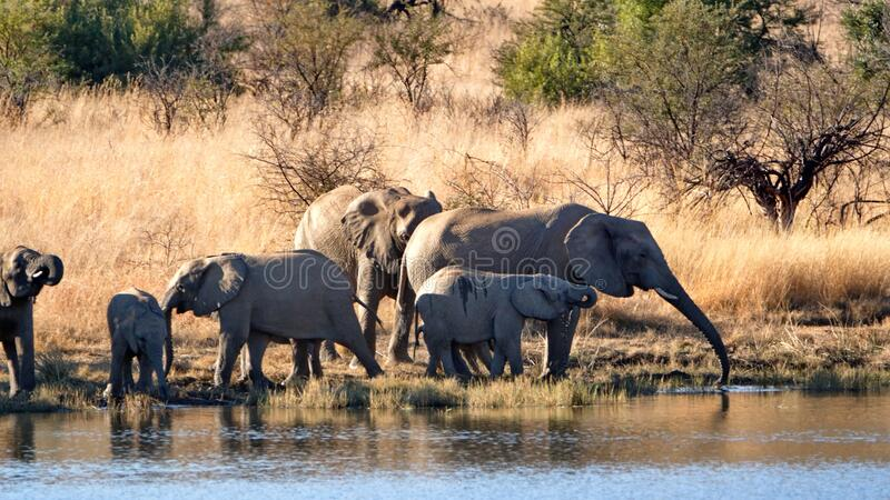 Herd of elephants with calves at a dam. Herd of elephants with calves in tall, dry grass, drinking from a dam in Pilanesberg National Park, South Africa stock image