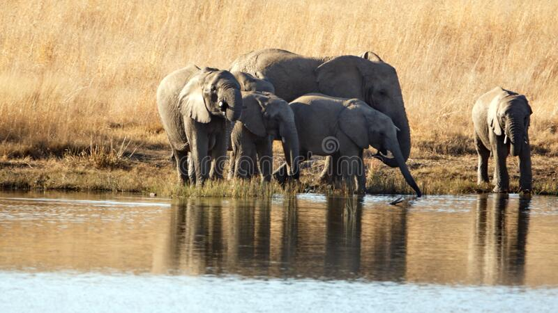 Herd of elephants with calves at a dam. Herd of elephants with calves in tall, dry grass, drinking from a dam in Pilanesberg National Park, South Africa royalty free stock image