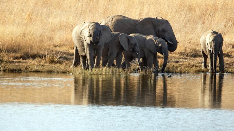 Herd of elephants with calves at a dam. Herd of elephants with calves in tall, dry grass, drinking from a dam in Pilanesberg National Park, South Africa royalty free stock photos