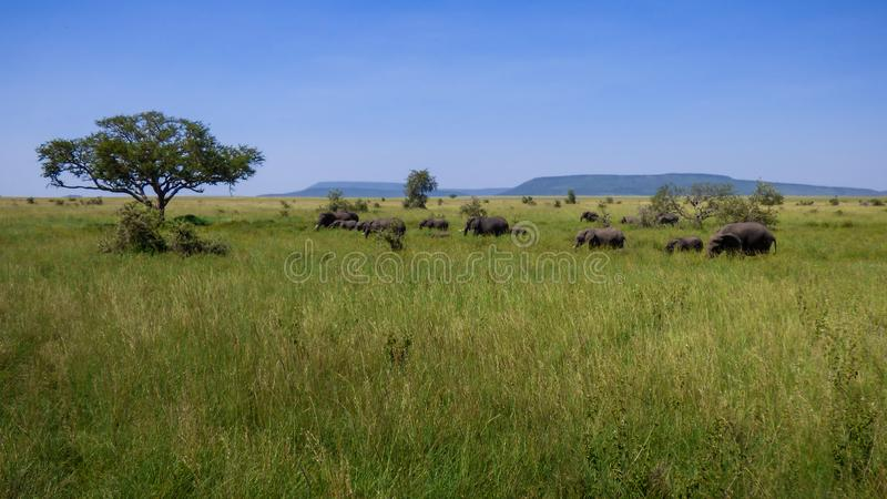 A herd of elephants crosses the savannah stock photos