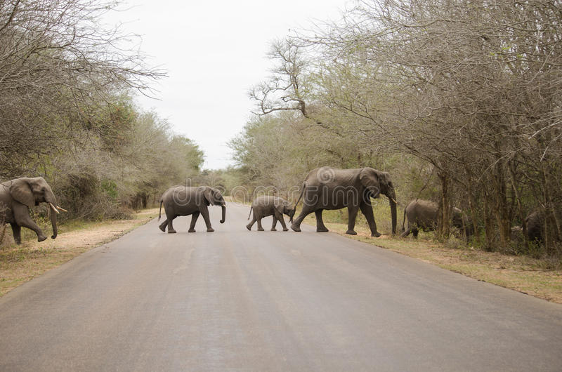 Herd of elephants crossing the paved road. Family of elephants crossing the paved road stock photos