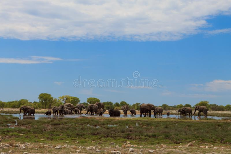 Herd of elephants royalty free stock images