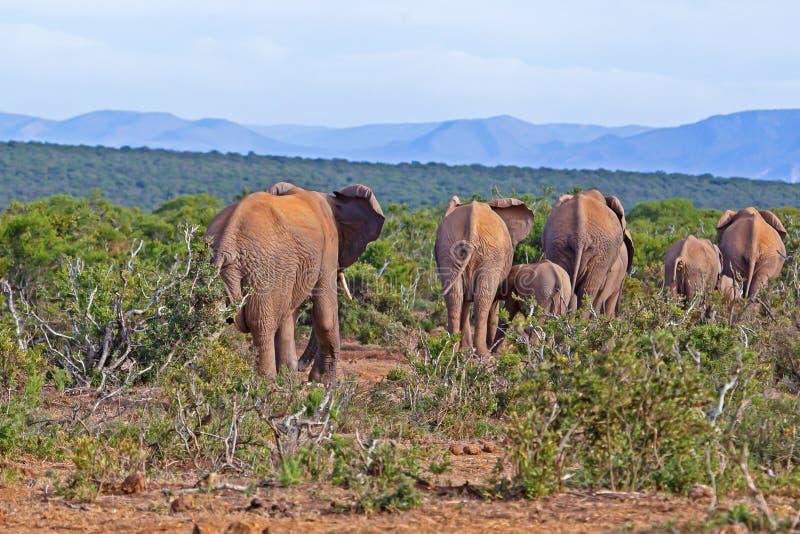 Herd of elephants leaving waterhole in Addo. Small herd of elephants with young leaving waterhole in Addo Elephant Park, Eastern Cape, South Africa royalty free stock photography
