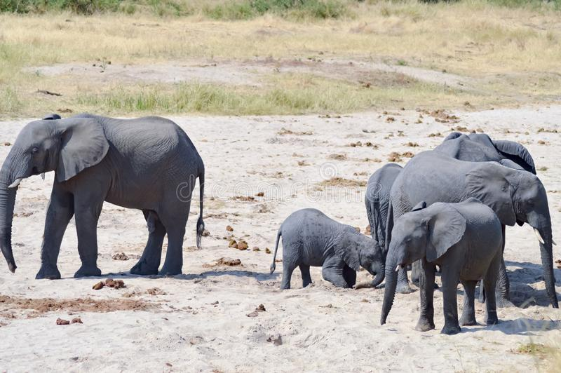 Herd of elephants looking for a waterhole in the Tarangire Park stock images