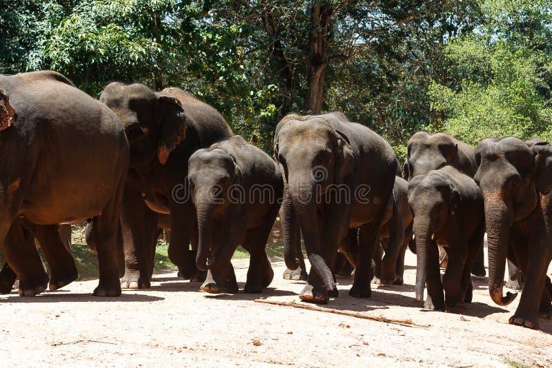 Herd of elephants in national wildlife sanctuary Pinawella stock photography