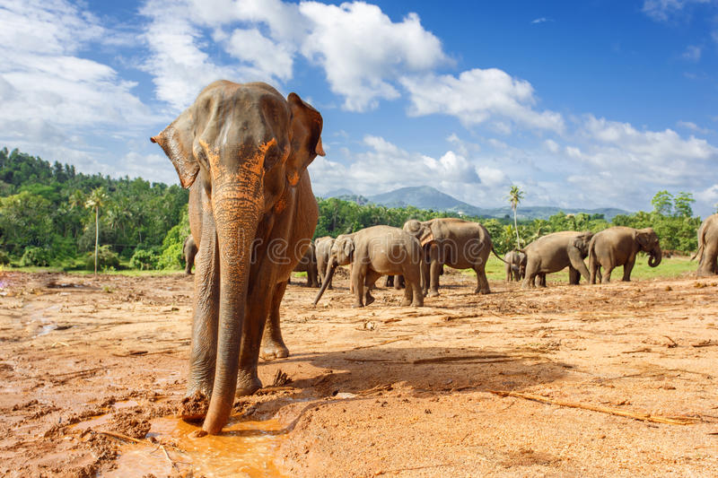 Herd of elephants in the nature royalty free stock images