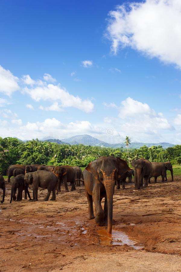 Herd of elephants in the nature royalty free stock photography