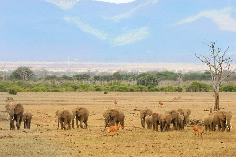 Herd of elephants in the savannah royalty free stock images