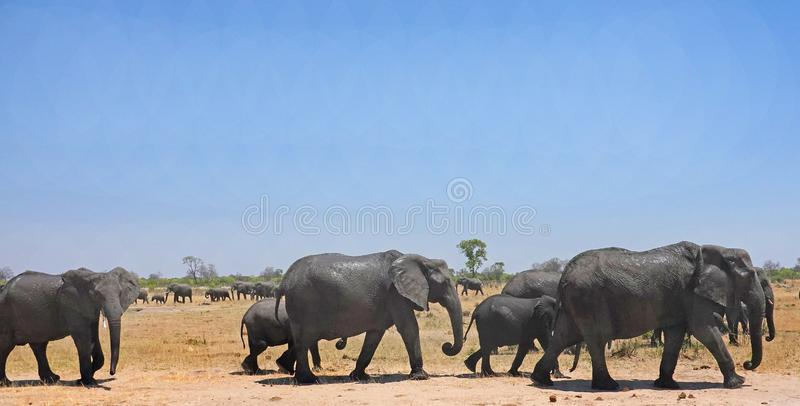 Herd of Elephants waling across the dry sandy savannah with a clear blue sky and natural background with another herd stock photography