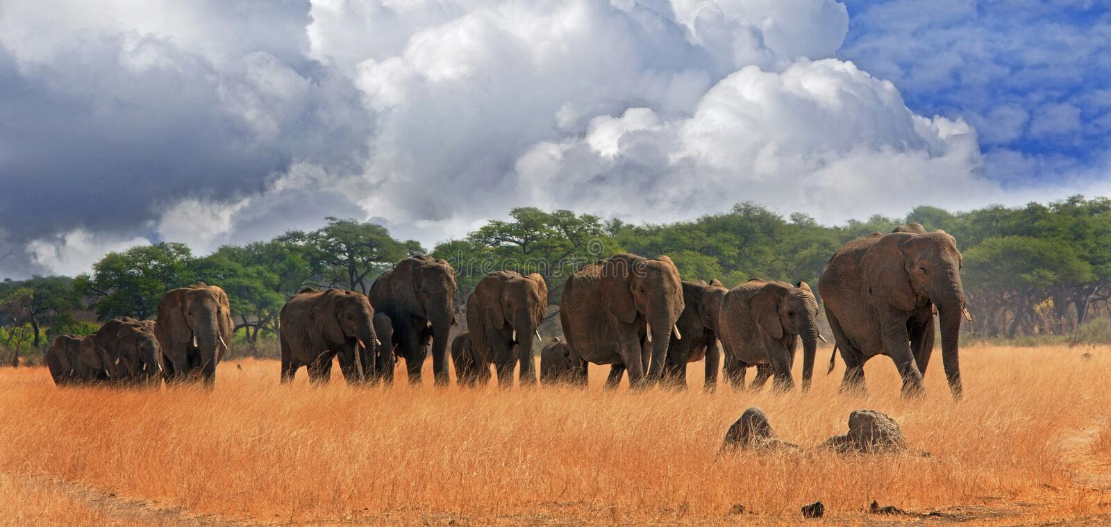 Herd of elephants walking across the plains in Hwange National Park. A parade of elephants walking across the plains in Hwange National Park with blue cloudy sky stock image