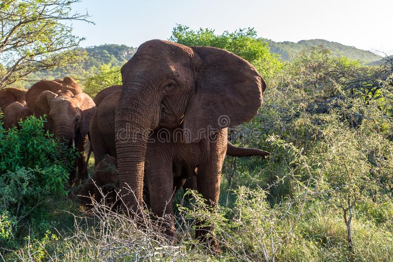 Elephants in the Bush royalty free stock photography