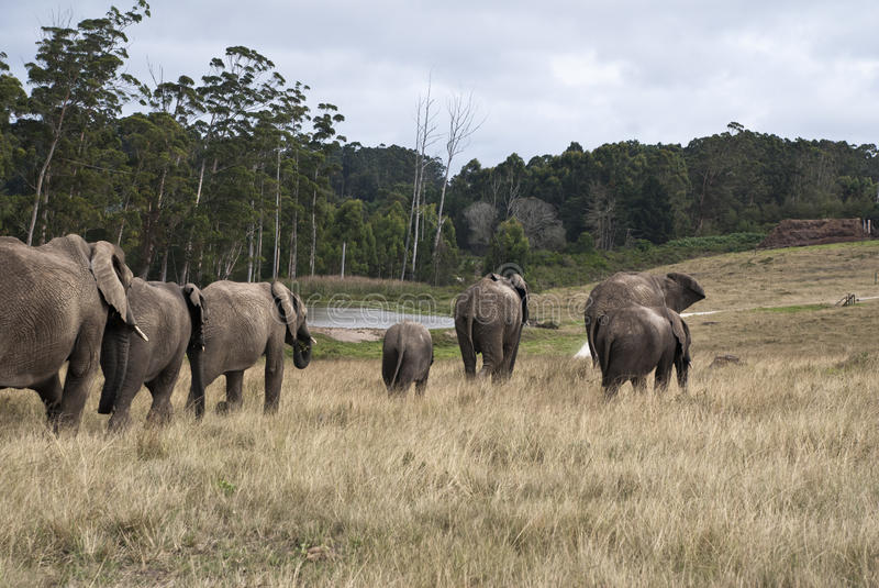 Herd of elephants walking in a game reserve. South africa royalty free stock photo