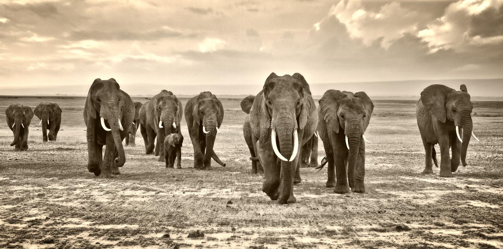 Herd of elephants walking group on the African savannah at photographer royalty free stock photography