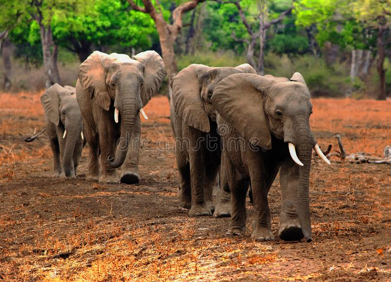 African Elephants walking through a shady forest with vibrant green trees stock photography