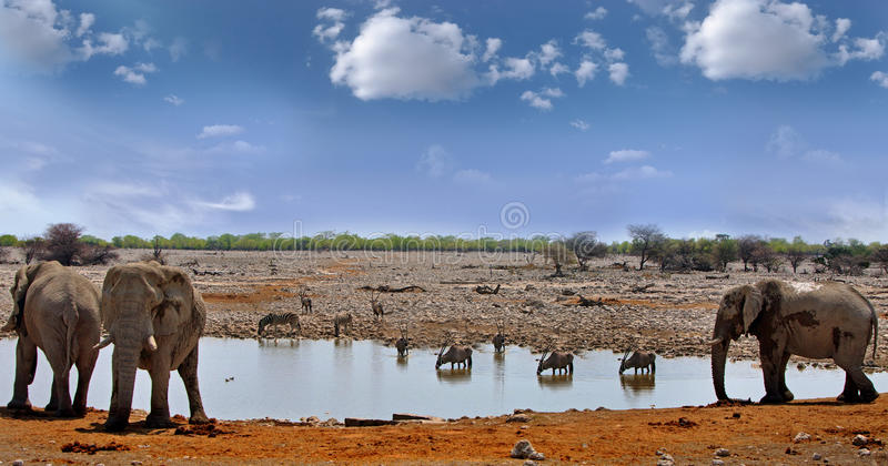 Herd of elephants at a waterhole with Oryx in background. Elephants stand next to a waterhole in Okaukeujo while Gemsbok Oryx, Zebra and springbok have a drink stock image